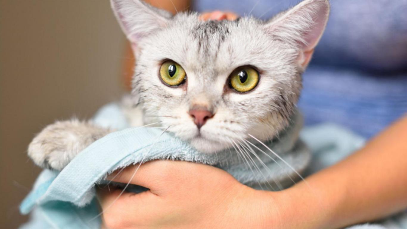 Kucing Munchkin Harga Cara Merawat Karakter Sifat