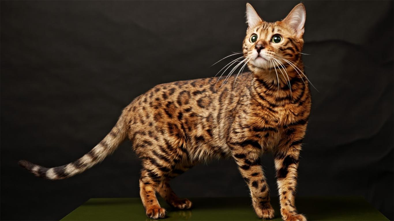 Penampilan Kucing Bengal