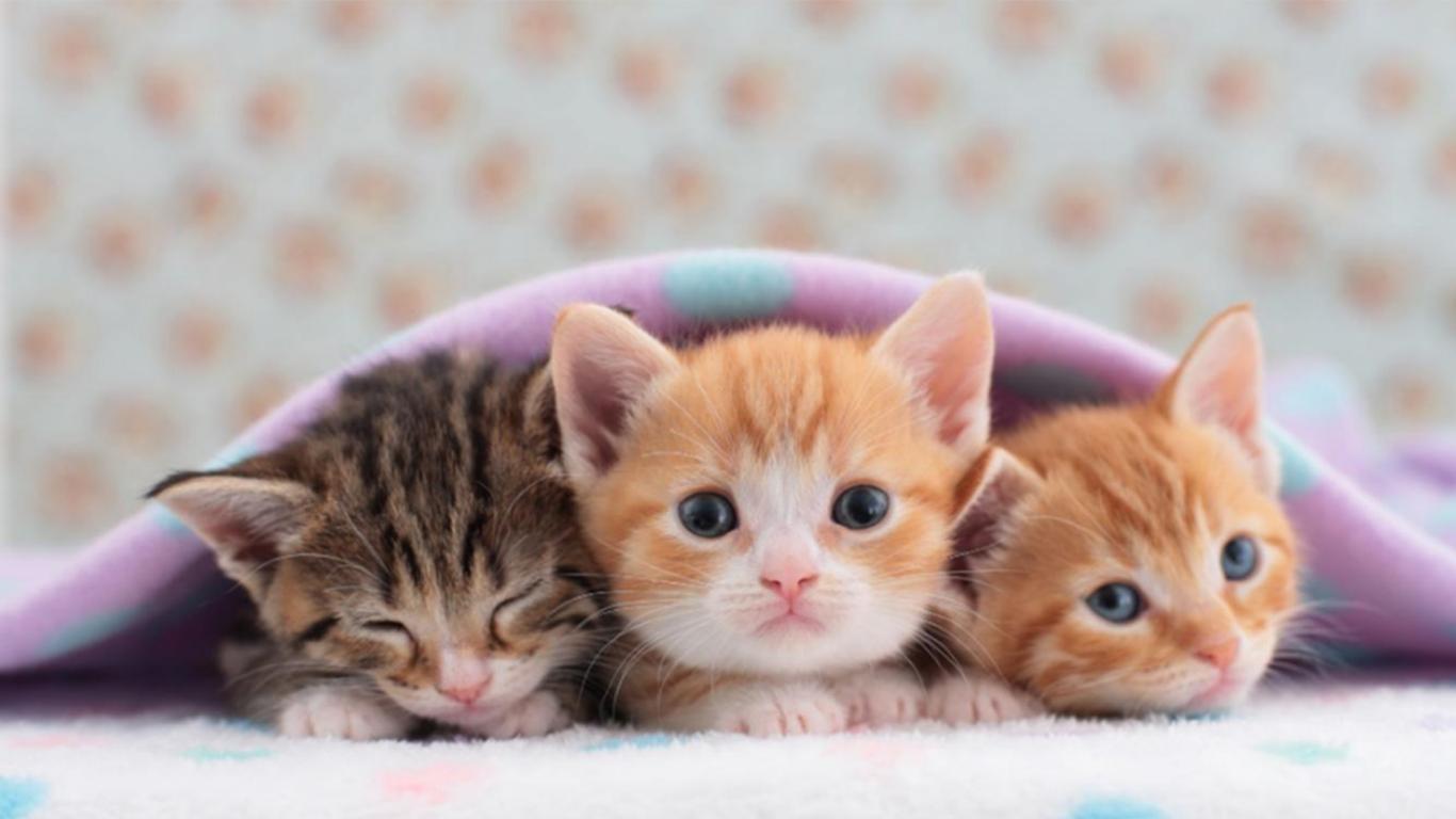 Perawatan anak kucing munchkin