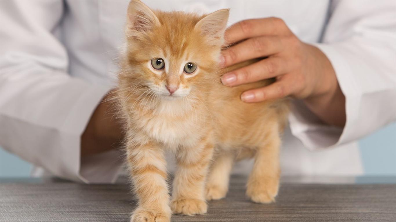 Vaksinasi Kucing Anggora