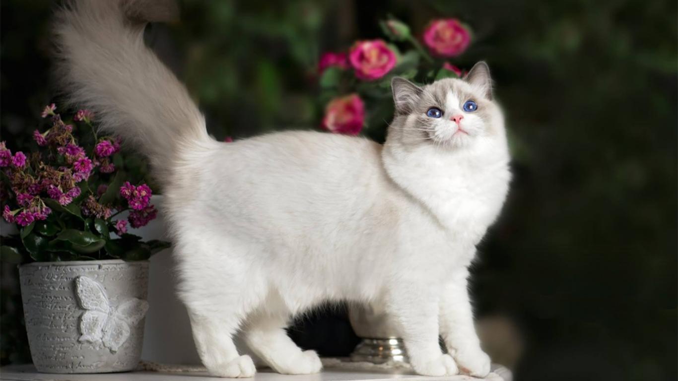 harapan hidup kucing ragdoll