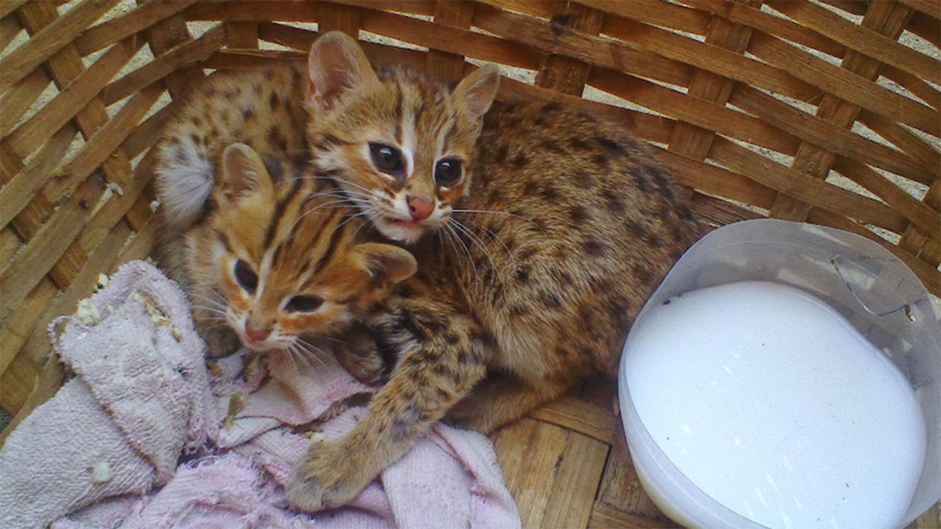kebutuhan kucing hutan