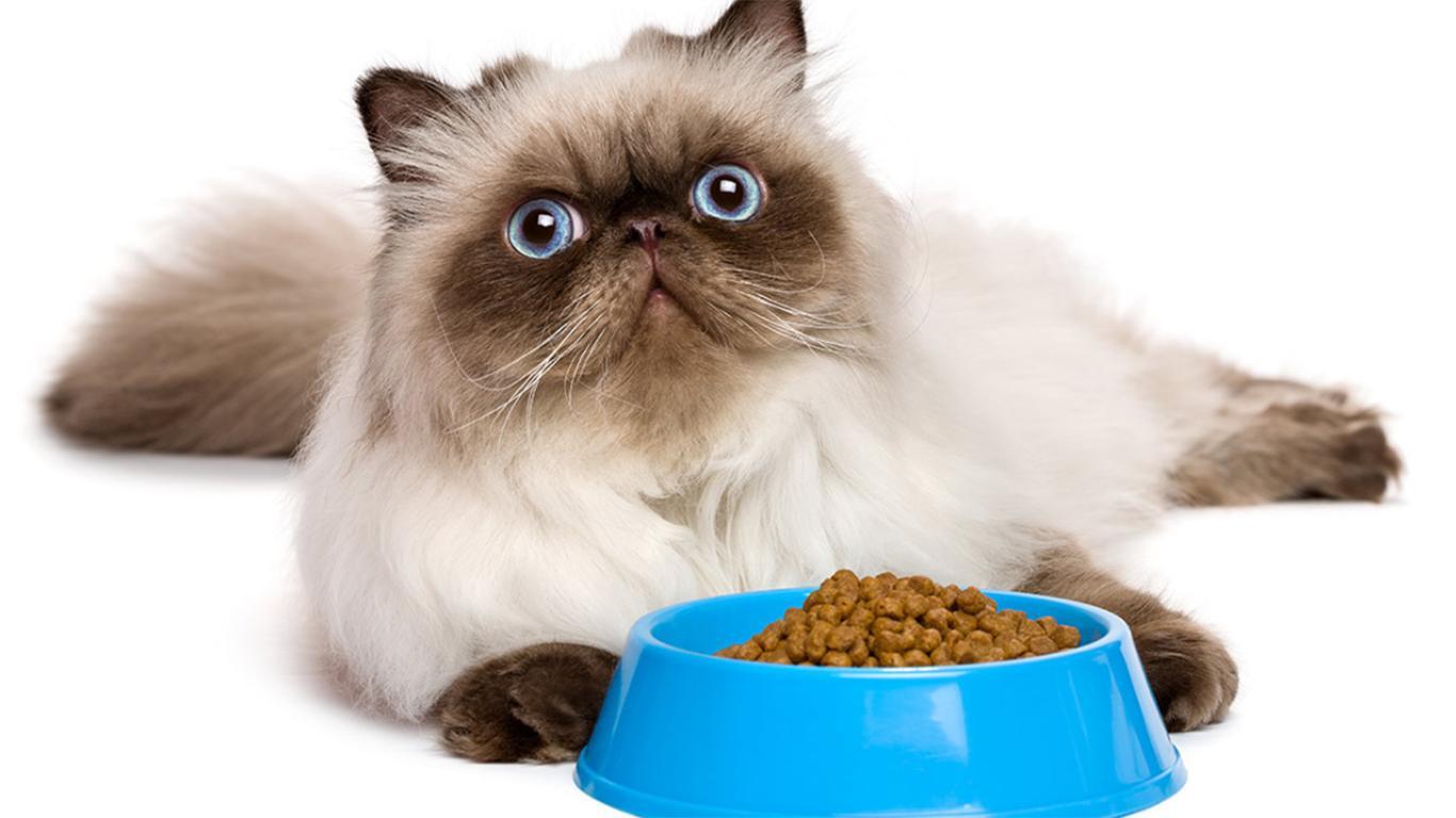 makanan kucing himalaya