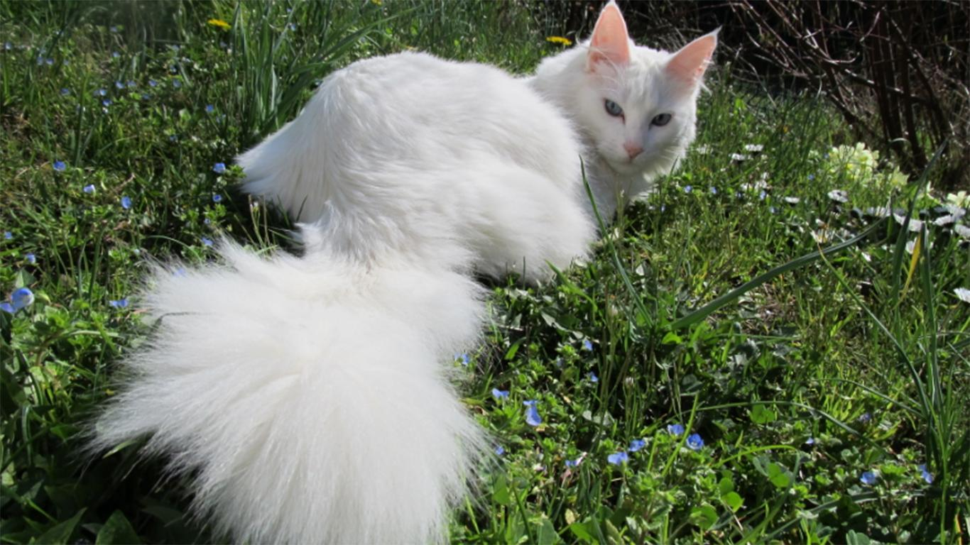perkawinan kucing anggora