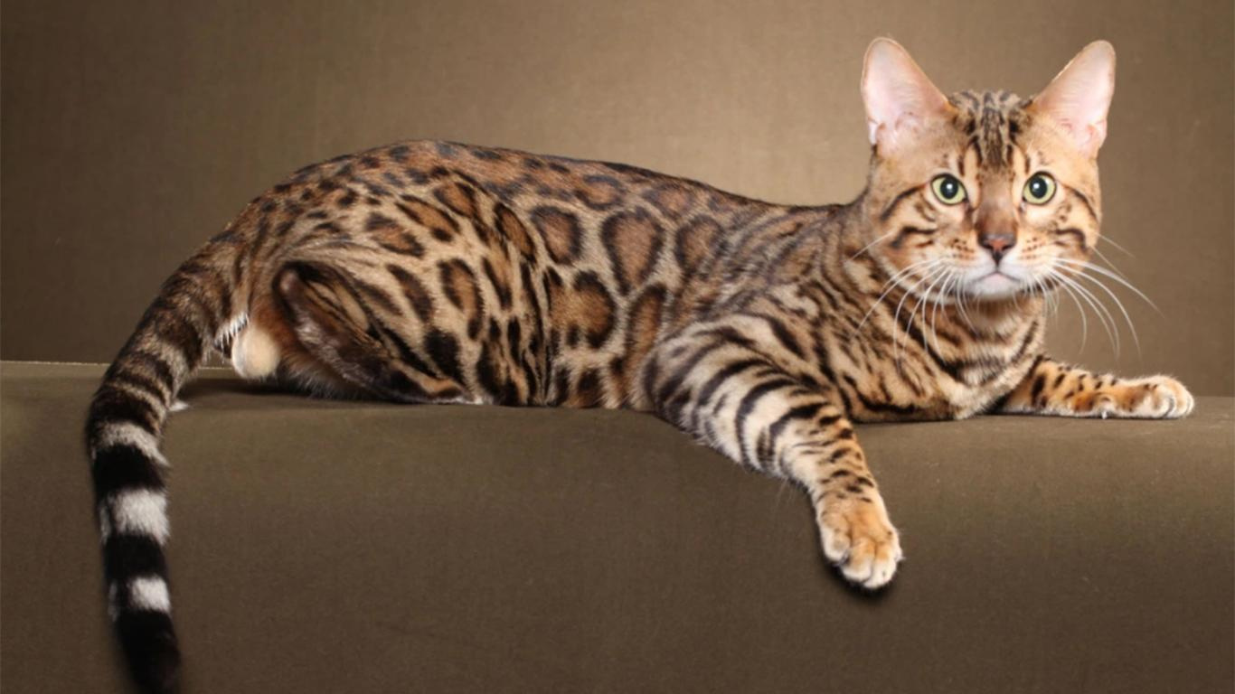 ragam warna kucing bengal