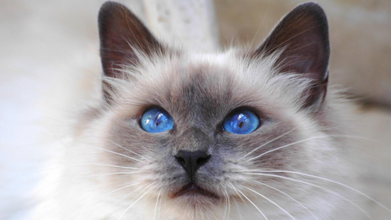 ragdoll eyes