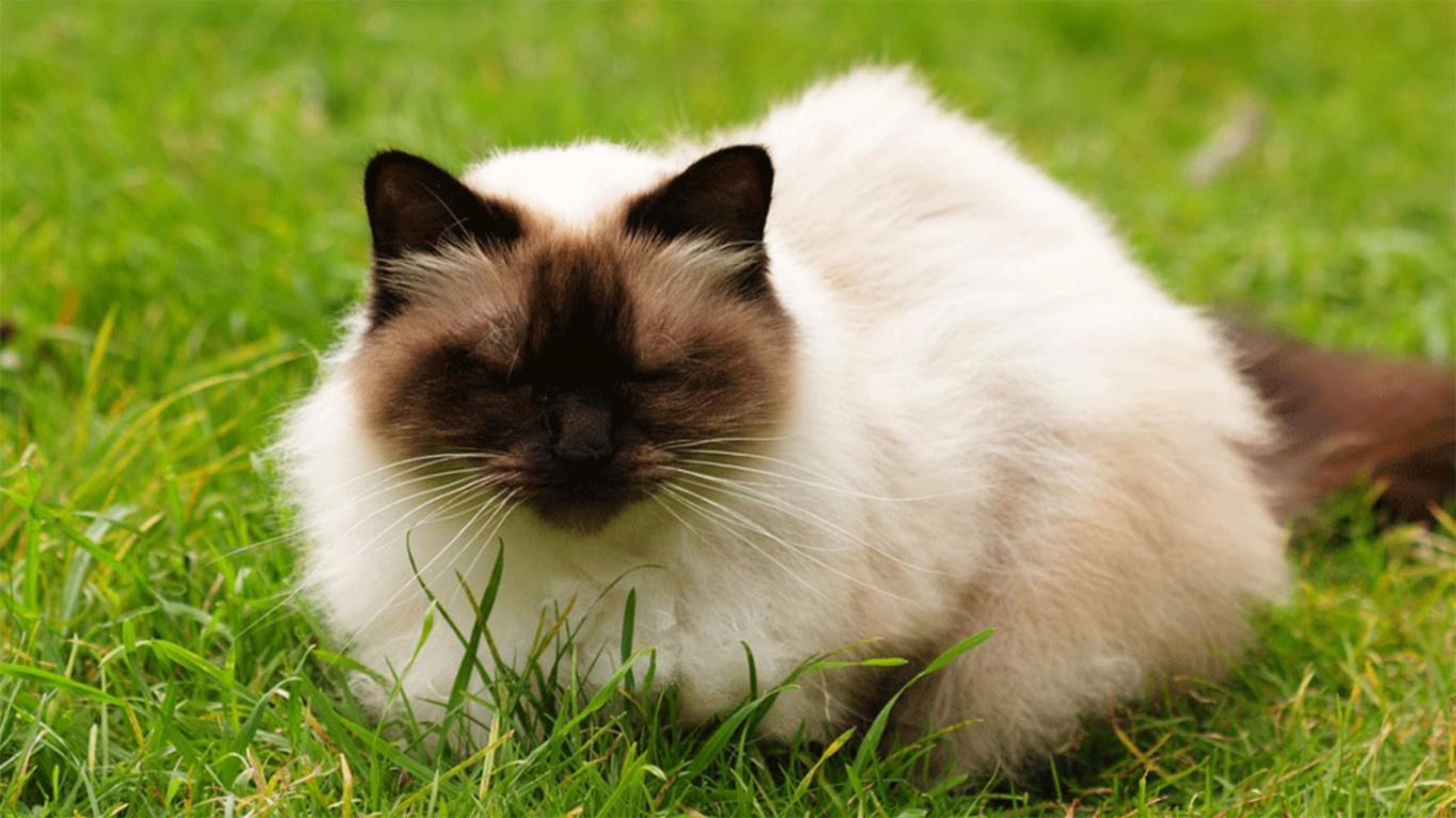 sifat kucing himalaya