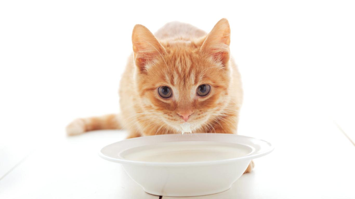 susu kucing