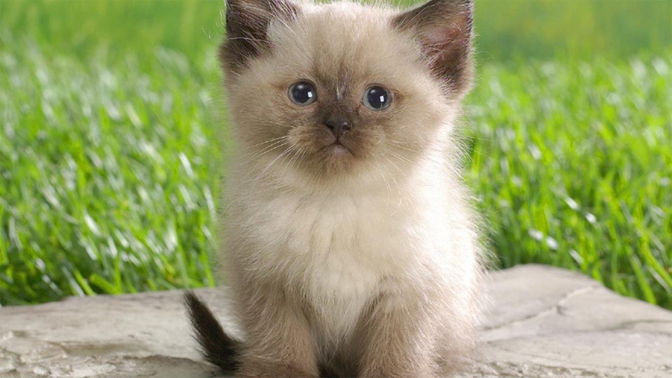 Nama Kucing Himalaya 81021 Nama Untuk Kucing Comel Lucu Dan Unik