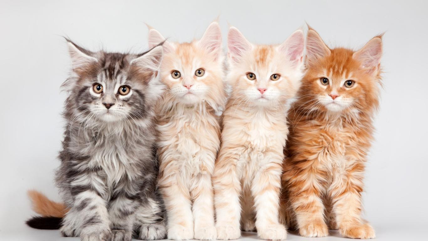 Kucing Maine Coon Jenis Profil Ciri Sejarah Gambar Lucu
