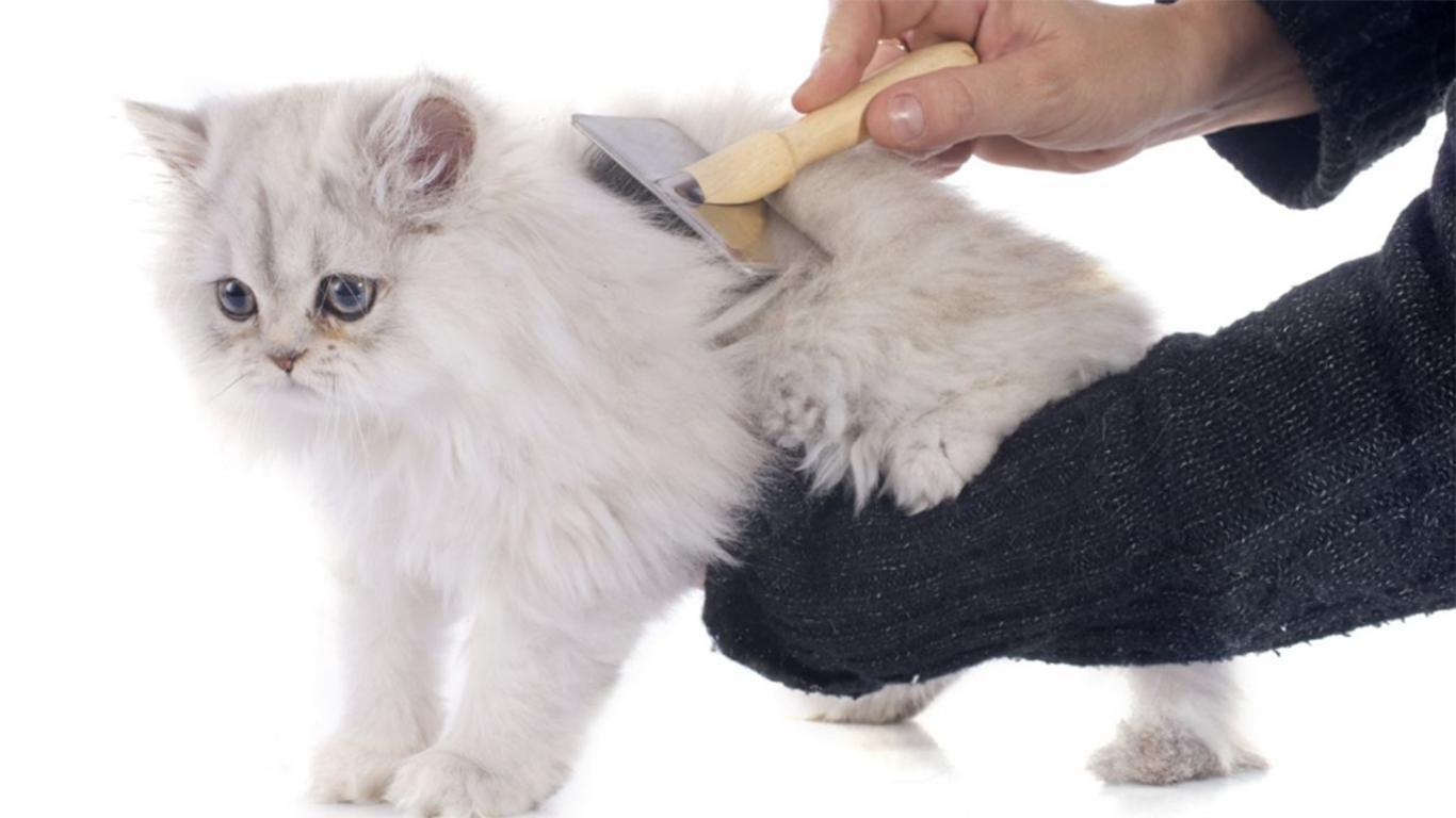 Sisirlah bulu kucing
