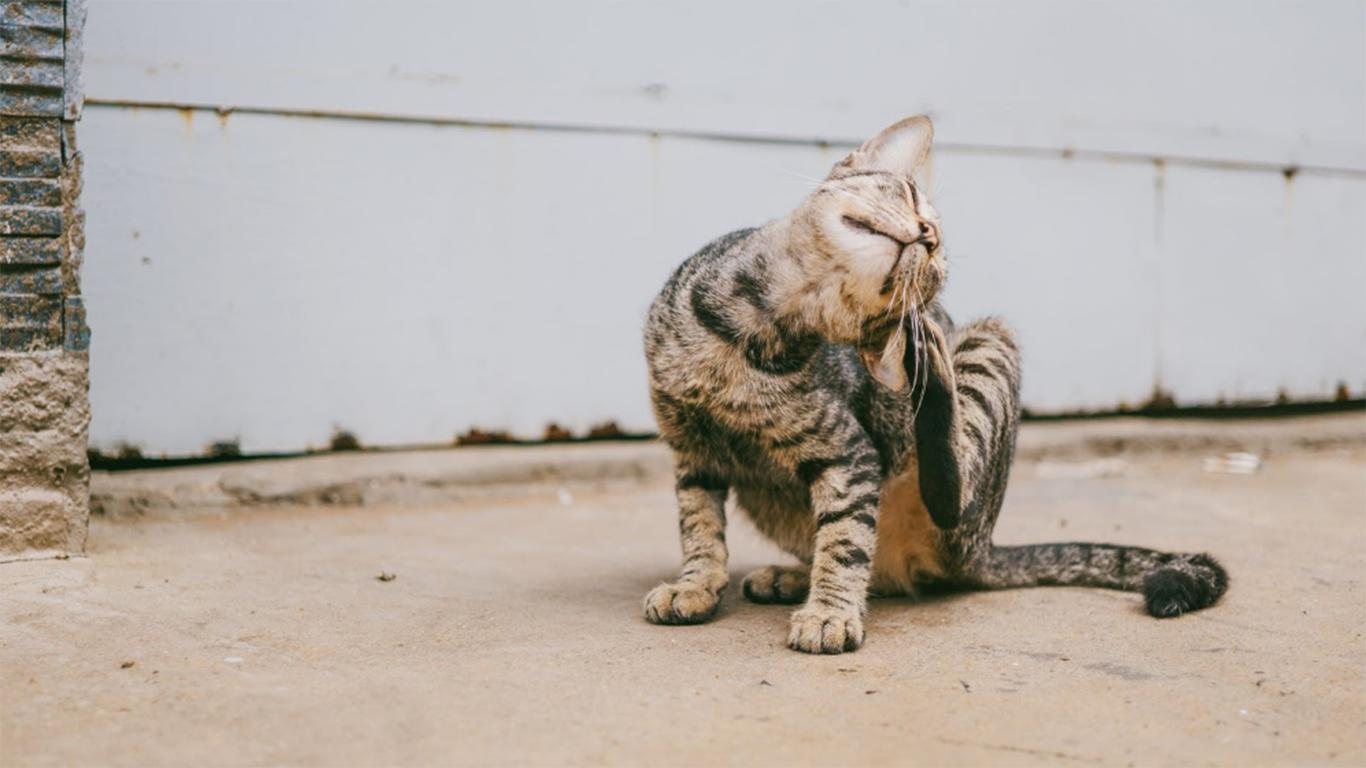 kucing anemia