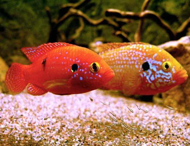 African Jewel Fish
