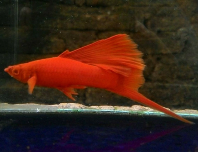 Albino Blood Red Swordtail