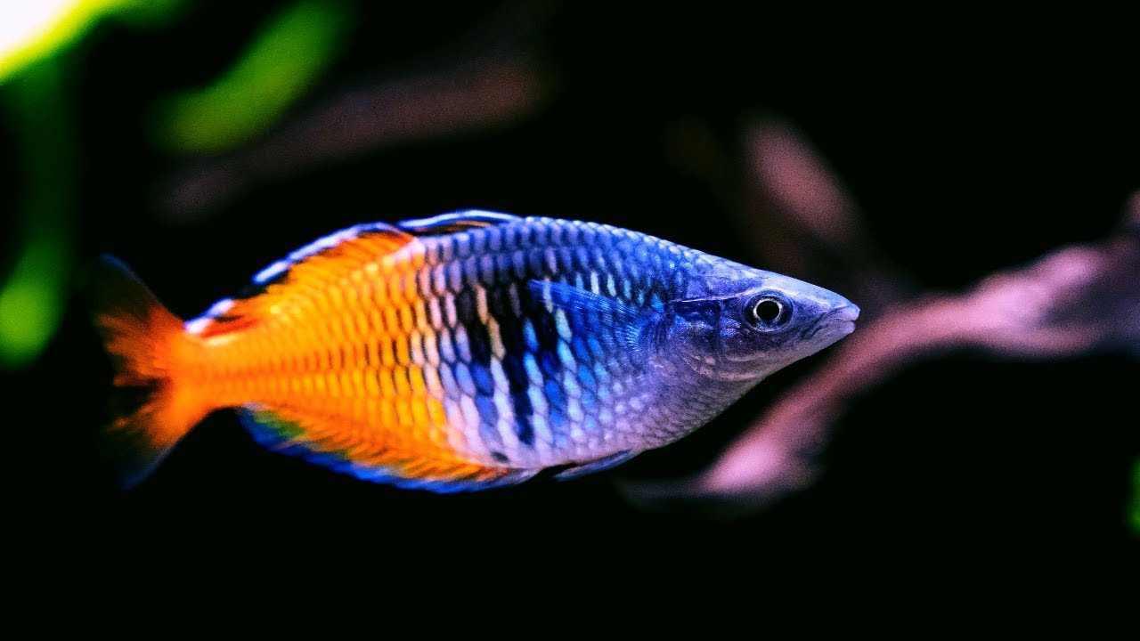 Boesemans Rainbow Fish