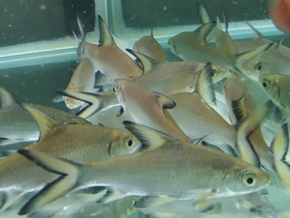 Budidaya Ikan Bala Shark