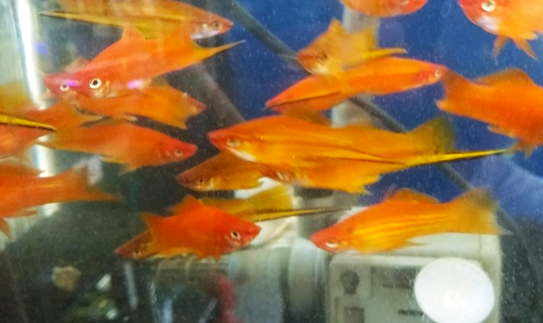 Budidaya Ikan Pedang