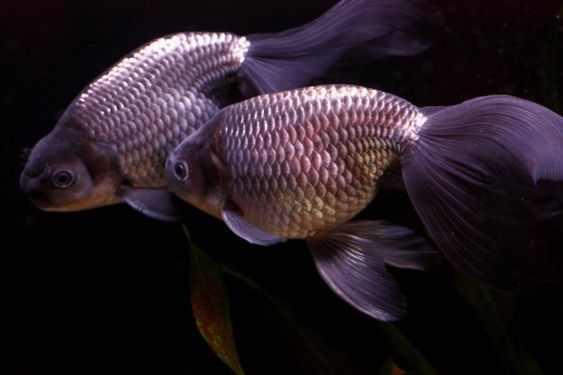 Egg Fish Goldfish