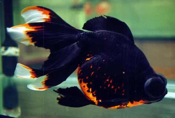 Fancy Telescope Goldfish