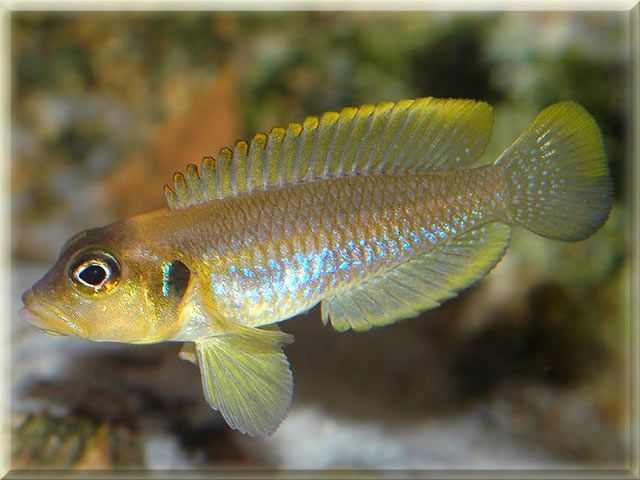 Frog Faced Cichlid