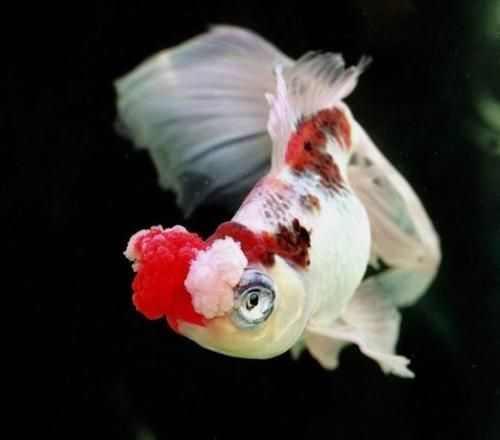 Hana Fusa Goldfish