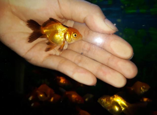 Ikan Mas Koki Mini