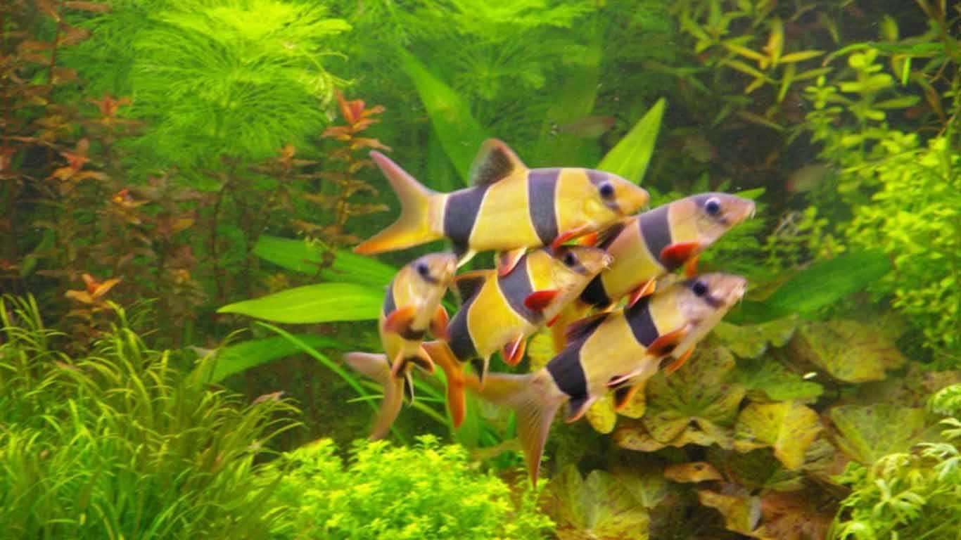 10 Jenis Ikan Pemakan Lumut Untuk Pembersih Akuarium
