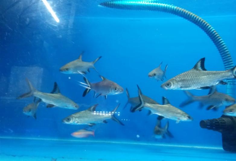 Jenis Ikan Bala Shark