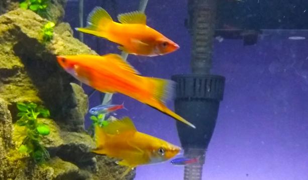 Jenis Ikan Pedang