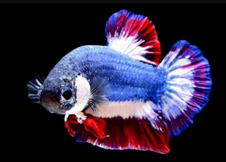 9 Jenis Ikan Cupang Termahal Di Indonesia Bahkan Di Dunia