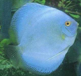 Manfish Diamond