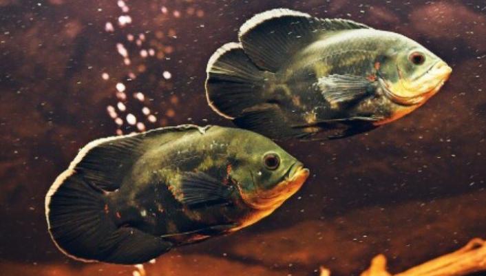 Pemilihan Induk Ikan Oscar