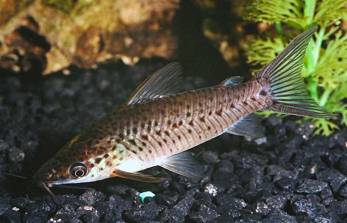 Porthole Catfish