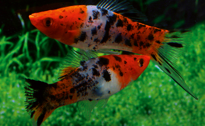 Sanke Swordtail