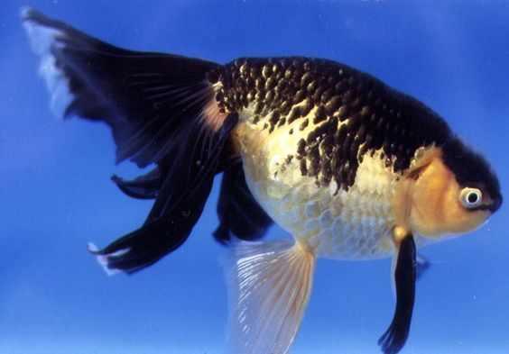 Shukin Goldfish