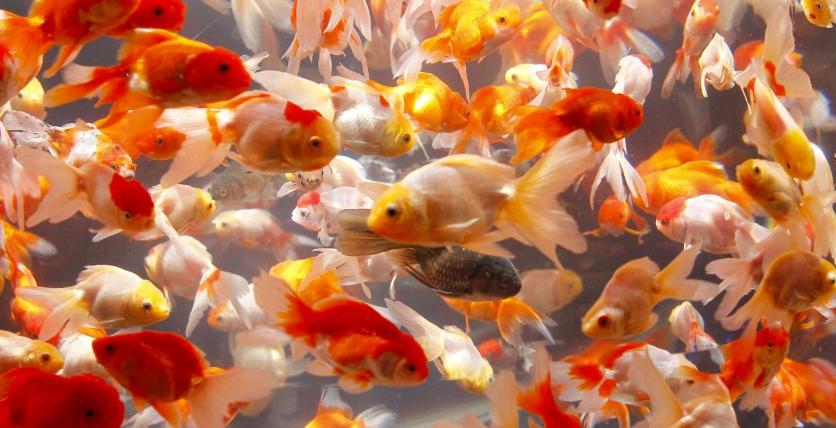 Tips Merawat Ikan