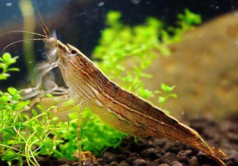 Udang Bamboo shrimp