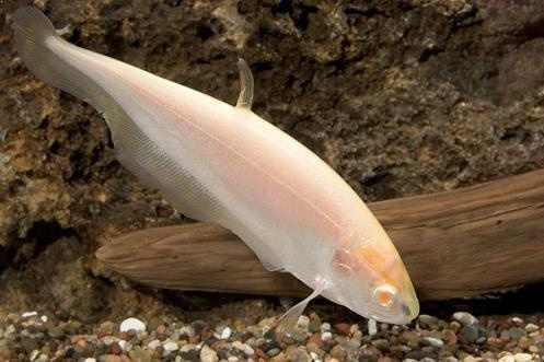 White Ghost Fish