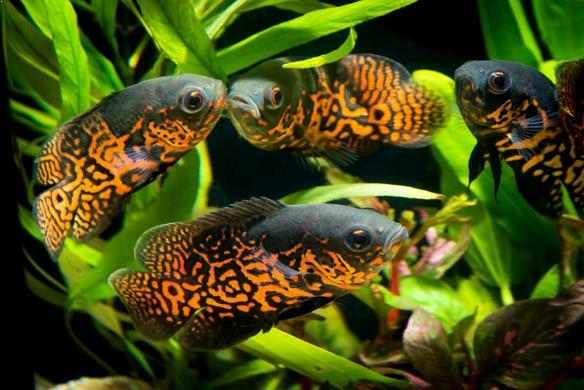 Ikan Oscar Jenis Cara Budidaya Dan Tips Perawatan