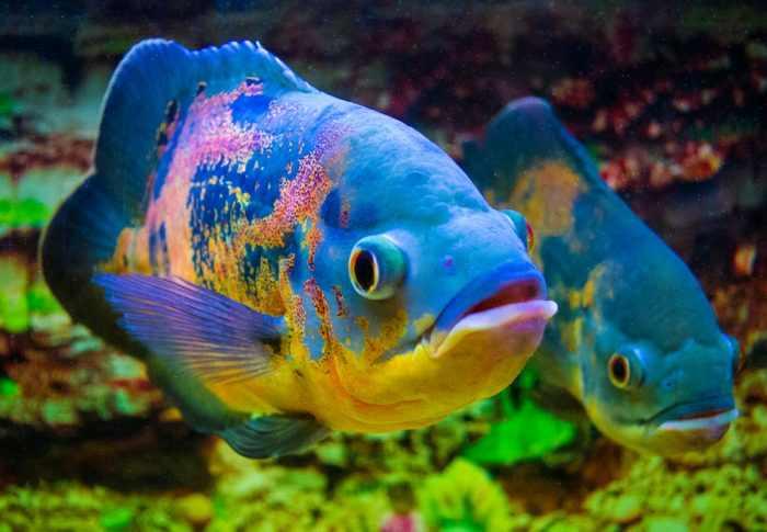 cara merawat ikan oscar