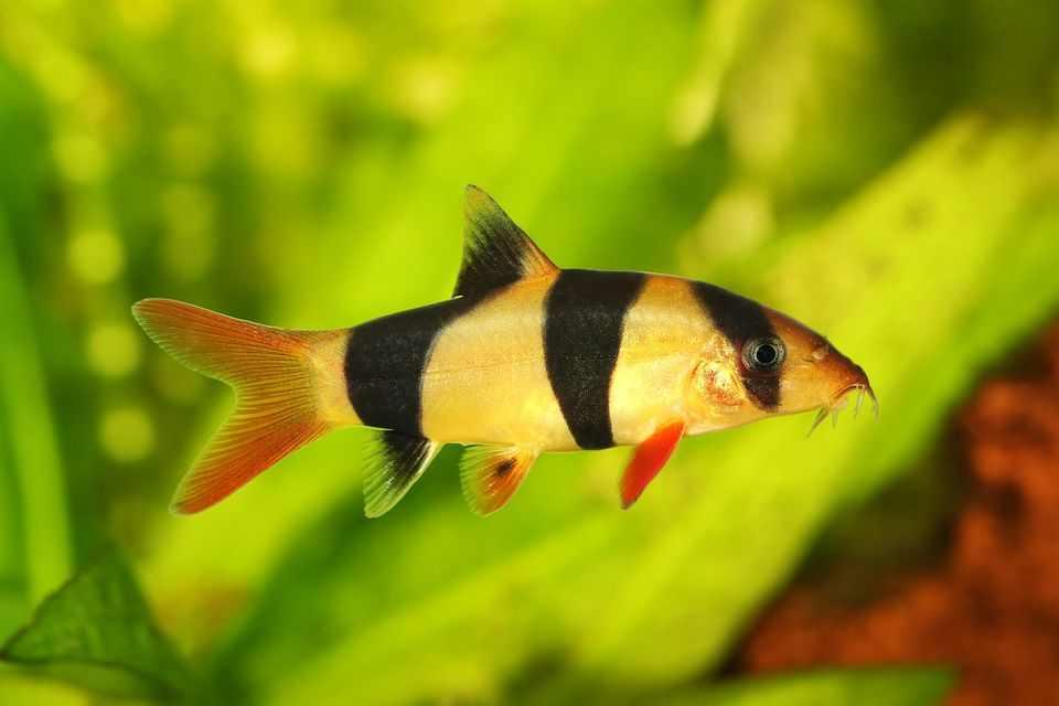 ciri ciri ikan botiav