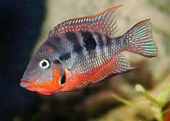 firemouth fish