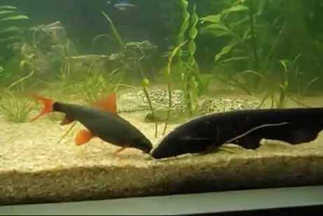 ikan untuk teman black ghost