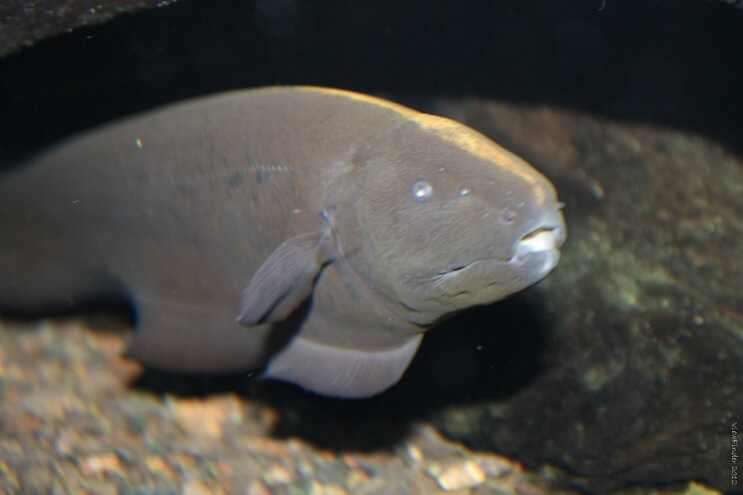 nocturnal ghost fish