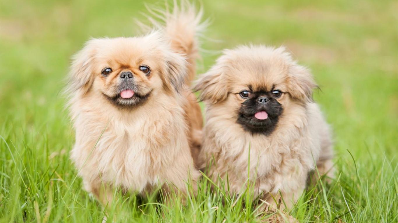Anjing Peking