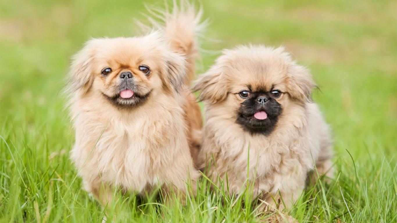 Anjing Peking Harga Karakteristik Cara Merawat Makanan
