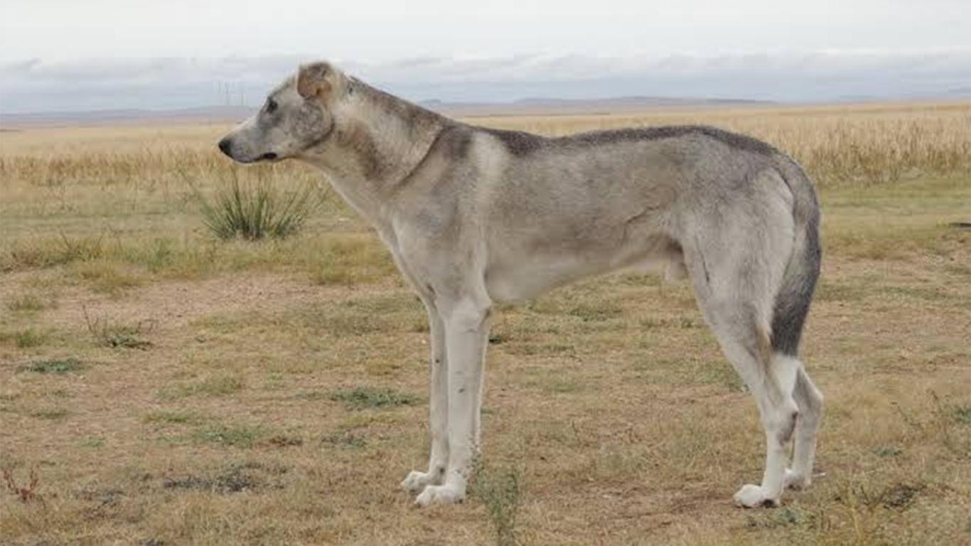 Anjing Tengger (Canis familliaris var tenggerana)