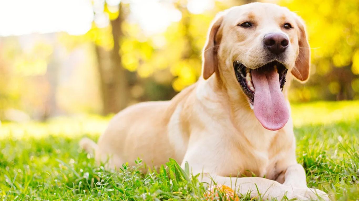 anak anjing golden