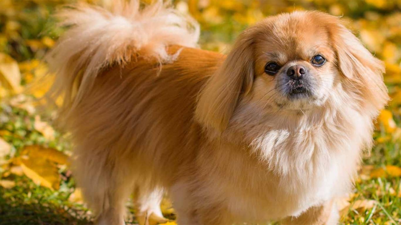 anjing peking asli