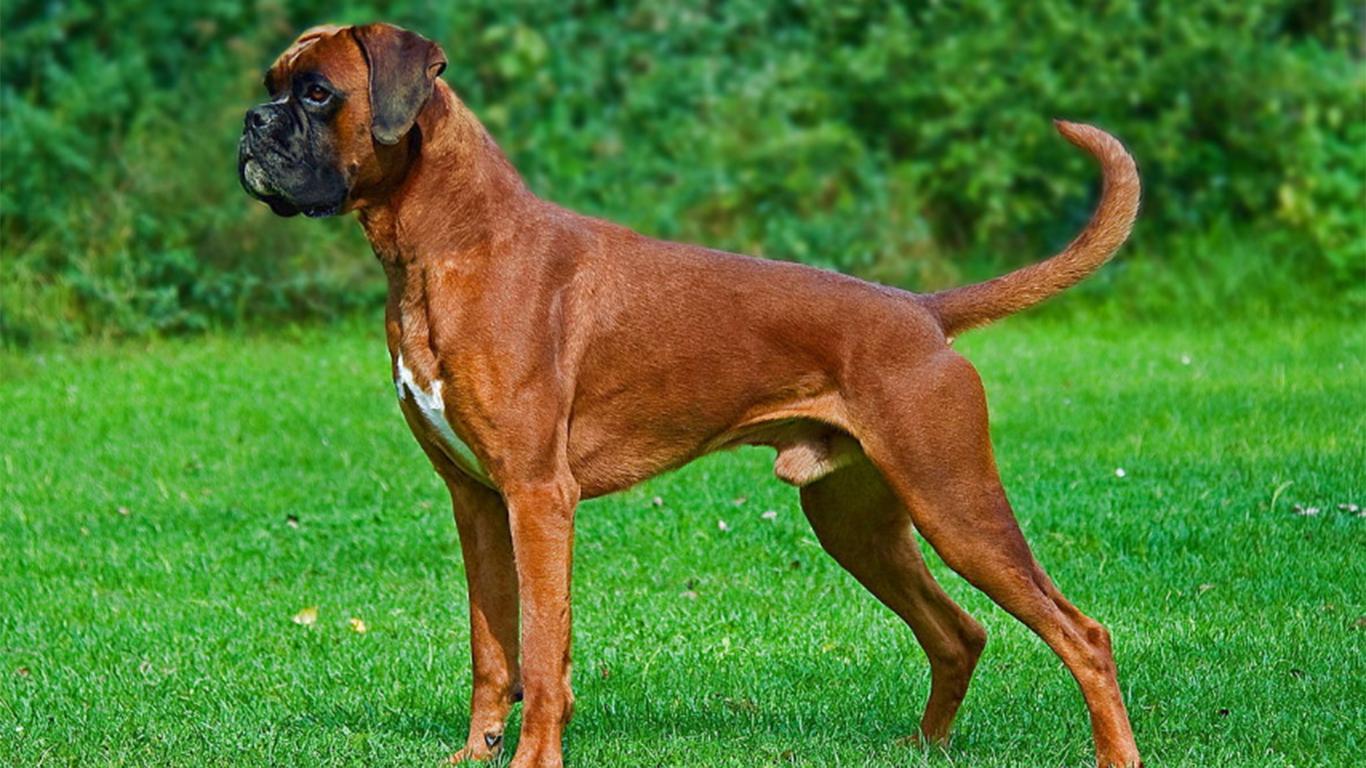 anjing penjaga rumah terbaik